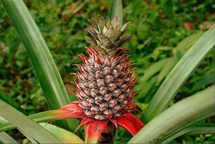 calorie e benefici dell'ananas